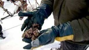 bc-081216-ice-wine-harvest1