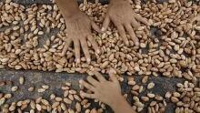 w-cacao-bean-cp-584-5616288