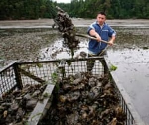 oyster-harvest-cp-8916235-220x185