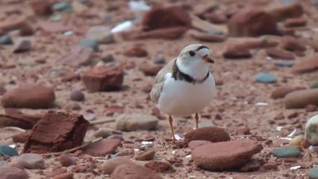 Piping plovers on P.E.I. had more surviving chicks this year.