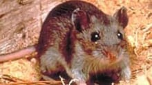 mi-deer-mouse2-courtesy-cdc