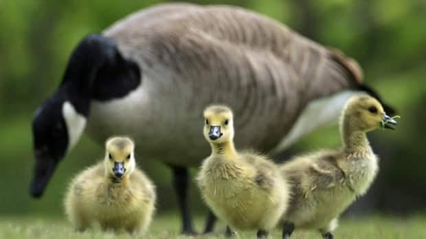 Earlier this year, the city rounded up and moved geese from a pond near Windsor International Airport.